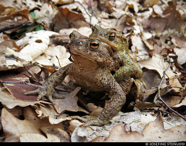20170402_02 Common toads (Bufo bufo) (?) in amplexus - slightly different angle :p   Skatås, Gothenburg, Sweden