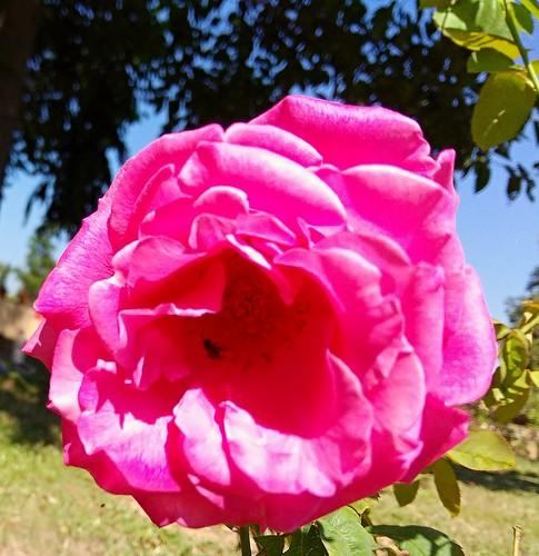 rose pink redmiphone xiaomi redminote4 garden