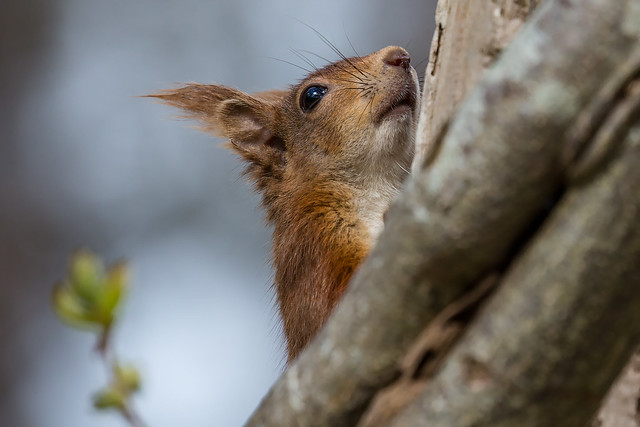 Red Squirrel - A Different View