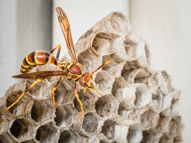Lonely Paper Wasp