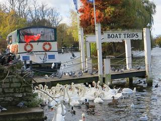 swans n pidgeons