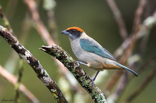 scrubtanager tangaravitriolina thraupidae tanagers passeriformes songbirds aves birds wildlife circasia quindío colombia southamerica november2017 2430 elensueño