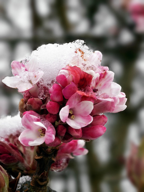 Icy blossom