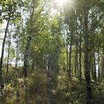 Aspens in the Sunlight