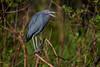 Little blue heron (Egretta caerulea) at Bird Rookery Swamp, Naples, Florida by diana_robinson