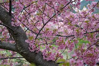 Cerasus lannesiana Carrière, Sakura in Kawazu 河津の桜, Shizuoka, Japan