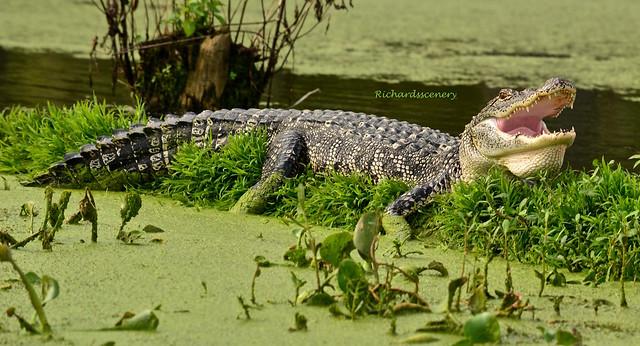 Hungry alligator??! DSC_0921