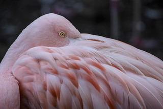 Flamingo Eyes Wide Shut | by northcoastgreg