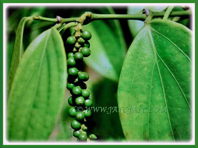 Unripe green peppers of Piper nigrum