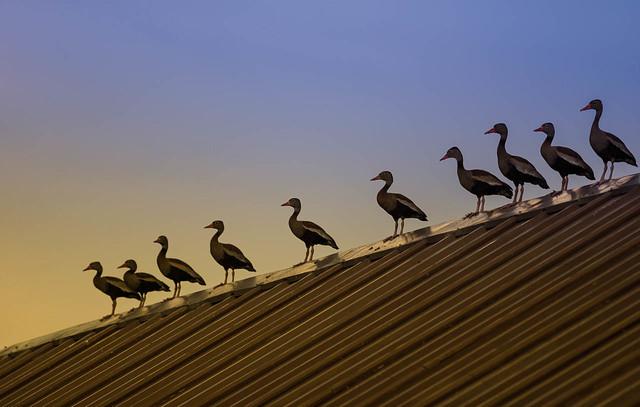 Dendrocygna autumnalis / Black-bellied Whistling-duck / Iguaza común.