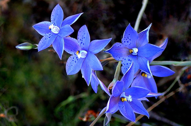 SPOTTED SUN ORCHIDS