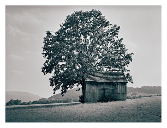 Barn and tree