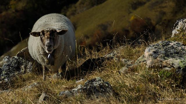 Mouton sur l'alpage