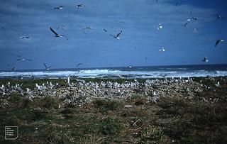 Swift terns. Robben Island (in Hartlaubs gullery)