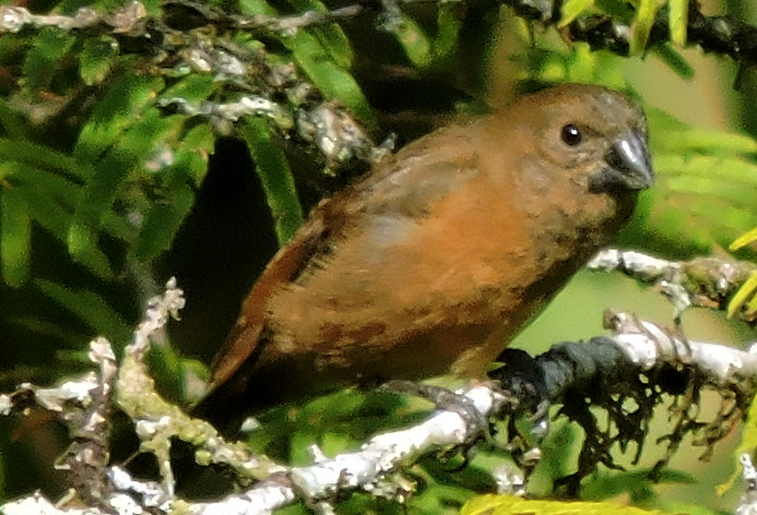 Lesser Seed-finch, Oryzoborus angolensis