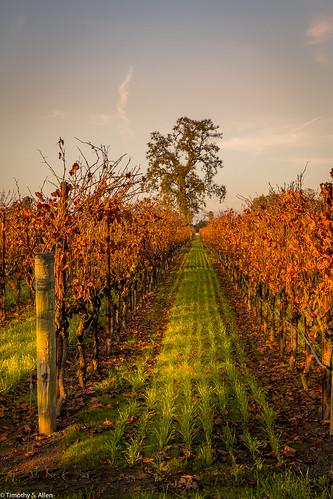 california lagunadesantarosa vineyard santarosa sunset autumn fall vines wine grass sunlight tree occidental road sonoma county