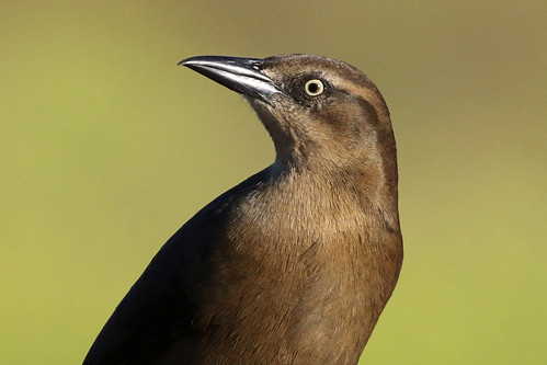 Adult Female Great-tailed Grackle Portrait | by brad.schram