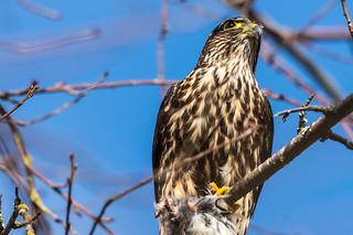Hawk vs Waxwing (Merlin, I think?)