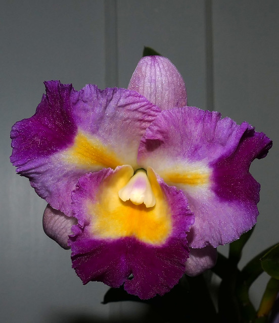 Cattleya Unknown [Fire #1] hybrid orchid