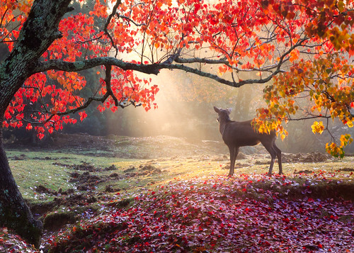 nara japan park fall deer paradise heaven light sunrise sunbeams autumn leaves red tree