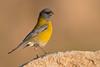 Cometocino de Gay macho - Grey-hooded Sierra-Finch male (Phrygilus gayi)