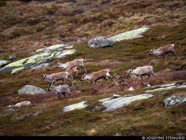 20160611_07 Reindeer (Rangifer tarandus) & their calves!   Near Beitostølen, Norway