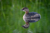 Pied-billed grebe (Podilymbus podiceps) and reflection at Bird Rookery Swamp, Naples, Florida by diana_robinson