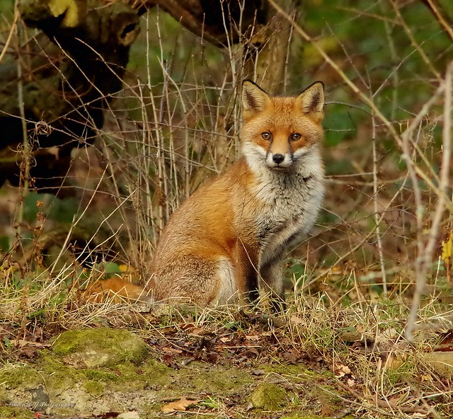 Fox in a field sheffield 3 dec 2017 (1)