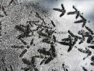 Turkey tracks in snow (8 March 2007) (Newark, Ohio, USA) 1