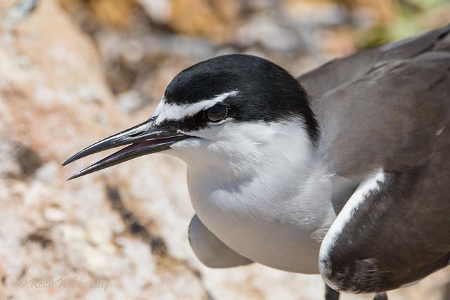 Bridled Tern 4 (Onychoprion anaethetus)