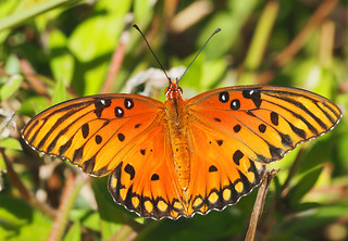Gulf Fritillary - Agraulis vanillae, Arthur Marshall Loxahatchee National Wildlife Refuge, Boynton Beach, Florida | by Judy Gallagher