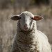 Domestic Sheep - Photo (c) Daniela, some rights reserved (CC BY-SA)