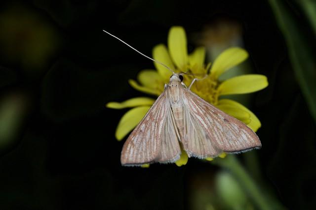 Crambidae, Antigastra catalaunalis