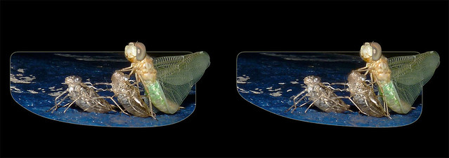 New Dragonfly Emerges From Exuvia 2 - Crosseye 3D