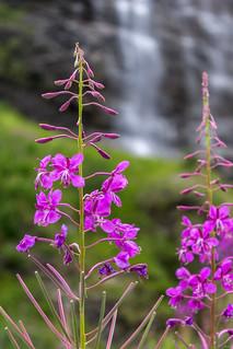 Fleurs violette - Parc des écrins   by Anthiel