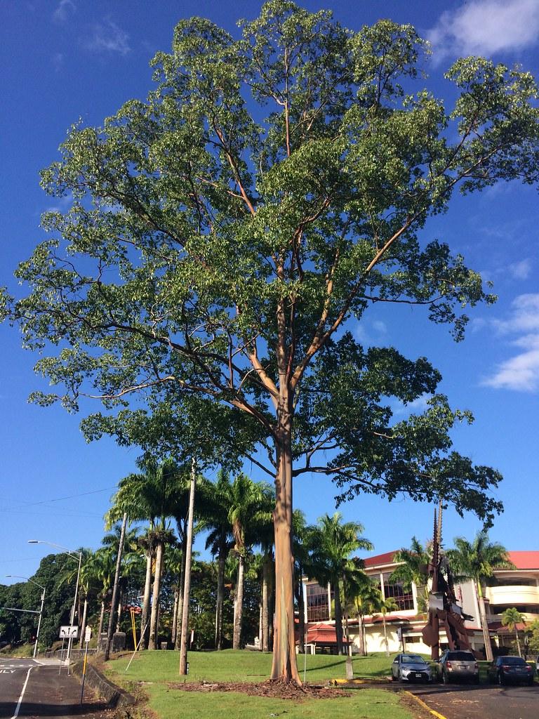 Eucalyptus Deglupta Tree Rainbow Bark Or Rainbow Gum Is