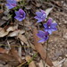 Blue_mountains_S7_Grouped_Spotted_sun_orchid_oct17