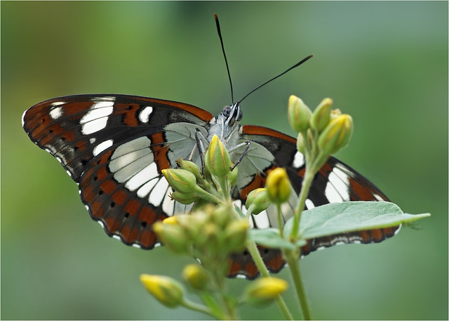 Face to face with Southern White Admiral