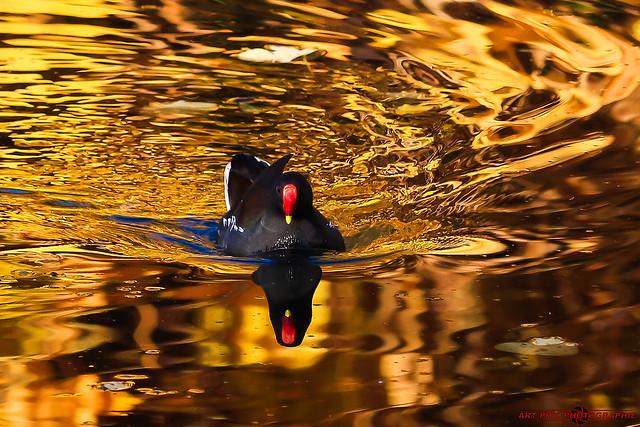 Paysages et Nature-Petite Poule d'eau et Reflet d'Automne (3)