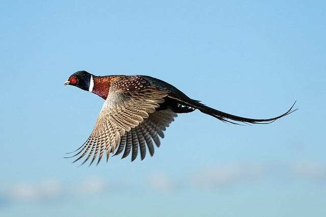 Ring- Necked Pheasant Rooster Flight