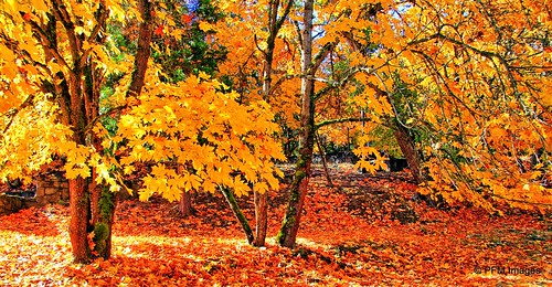 fallfoliage jacksonville oregon yellow leaves trees shade outdoor nature landscape canon eos 7d slr