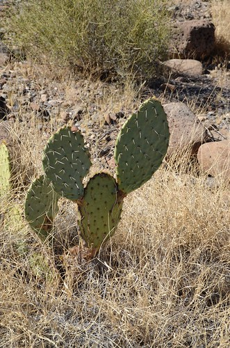 Gila Box Riverview Campground cactus with ears | by Pierre Yeremian
