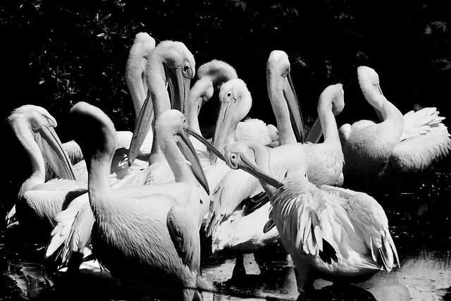 Pelicans, Hamburg Tierpark Hagenbeck
