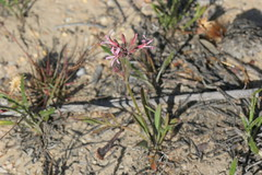 Pelargonium proliferum, tuberous pelargonium