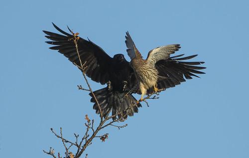 wild kestrel crow attack tree bird raptor nature avian wildlife wings canon7dmarkii surprise birds falcon fight incoming
