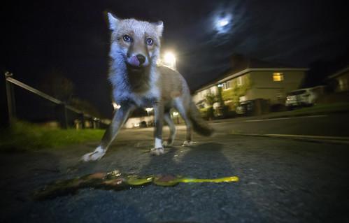 Urban Fox under a full moon, Bristol, Ian Wade
