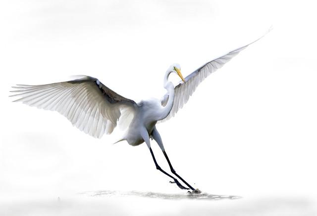 The Great egret, Ardea alba