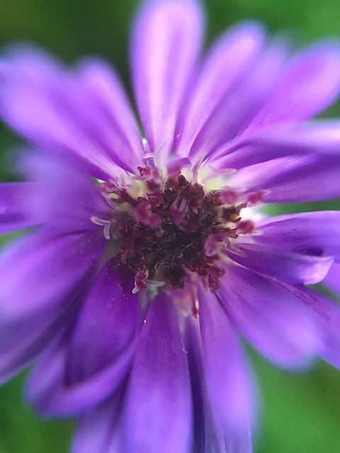 My last purple flower of the season