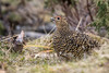 Lirype  Willow Ptarmigan by hdahlby