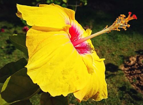 hibiscus garden yellow mellow beautiful redminote4 redmiphone xiaomi